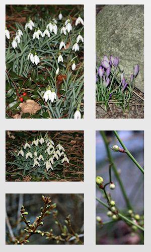 Schneeglöckchen, Krokusse, Kerria oder Forsythia - alles drängt nach dem Frühling